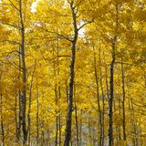 Aspen trees Royalty Free Stock Images