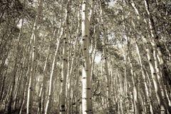 Aspen Trees. Black and white aspens in the fall Stock Image
