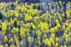 Aspen trees. In full autumn color Stock Photography