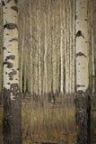Aspen Trees Fotografia Stock