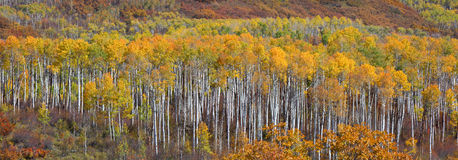 Aspen Trees royaltyfria bilder