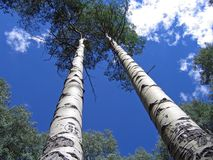 Aspen Trees. Reaching for the Sky Royalty Free Stock Photo