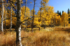 Aspen Trees. Seasonal aspen changing colors in the fall. Taken at Taylor Creek, Lake Tahoe Royalty Free Stock Photo