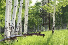 Aspen Trees Stock Afbeelding