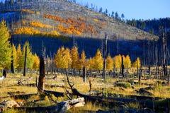 Aspen Trees photo libre de droits