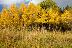 Aspen Trees Photo stock