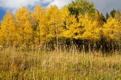 Aspen Trees Arkivfoto