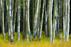 Aspen Trees imagem de stock