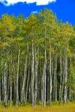 Aspen Trees Foto de archivo
