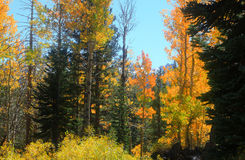 Aspen Trees Stockbilder