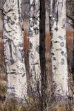 Aspen Trees Royaltyfri Bild