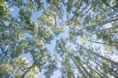 Aspen Trees Arkivbilder