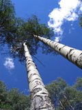 Aspen Trees. Summer green aspen trees reaching for the sky Stock Image
