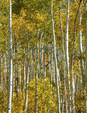 Aspen Trees Stockfotos