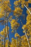 Aspen Trees Stockbild