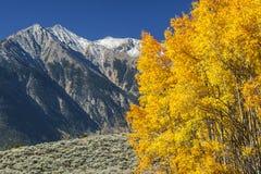 Aspen Trees Lizenzfreies Stockfoto