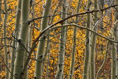 Free Aspen Trees Stock Photography - 7418992