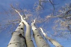 Aspen Trees Image libre de droits