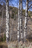 Aspen Trees Photographie stock