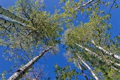 Aspen Trees Fotografía de archivo libre de regalías
