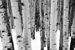 Aspen trees. Details of aspen trees in winter near Flagstaff, Arizona royalty free stock images