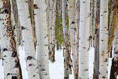 Aspen trees. Details of aspen trees in winter near Flagstaff, Arizona stock image