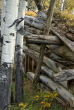 Aspen trees and abandoned cabin Royalty Free Stock Photos