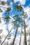 Aspen Trees against Blue and Cloudy Sky Royalty Free Stock Image