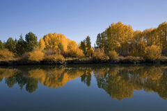 Aspen trees along a river Stock Photography