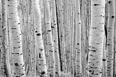 Aspen Trees Alpine Forest Utah Stock Images