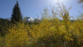 Aspen Trees amarillo contra el cielo azul almacen de video