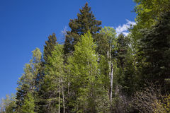 Aspen Trees Stock Photo