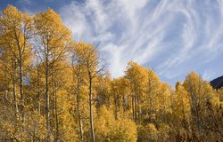 Aspen trees in autumn. Aspen trees in autumd with a blue sky background Stock Photography