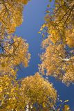 Aspen trees in autumn. Aspen trees in autumd with a blue sky background Royalty Free Stock Image