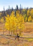 Aspen Trees in Autumn Stock Photography