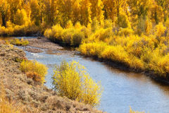 Aspen Trees in Autumn Stock Images