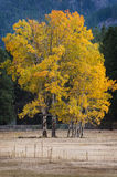 Aspen Trees in Autumn Color Royalty Free Stock Image