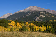 Aspen Trees in Autumn. In Colorado, with Longs Peak in the background Stock Photos