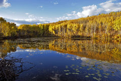 Aspen Trees in Autumn colors Royalty Free Stock Image