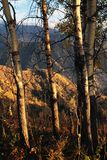 Aspen Trees in autumn mountains Royalty Free Stock Images