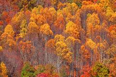 Aspen trees background Royalty Free Stock Photos