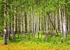 Aspen trees in Banff National park Stock Image