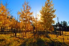 Aspen trees Stock Photos