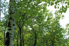 Aspen Trees in the Black Canyon. An image of an Aspen with sunlight shining through the quaking leaves Royalty Free Stock Photo