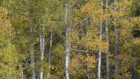 Aspen Trees Blowing en el viento almacen de metraje de vídeo