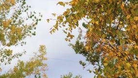Aspen Trees Blowing In Wind amarillo y verde almacen de video