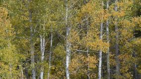 Aspen Trees Blowing in the Wind. During Fall stock video footage