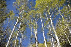 Aspen trees and blue sky. In the spring Stock Photo