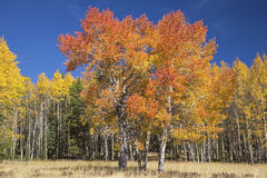 Aspen trees blue sky autumn color Royalty Free Stock Photography