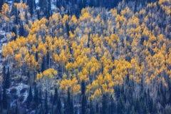 Aspen Trees brilhante imagens de stock